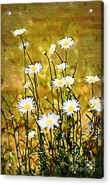 Acrylic Print featuring the photograph Daisy Field by Donna Bentley