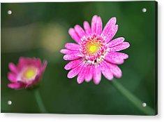 Acrylic Print featuring the photograph Daisy Flower by Pradeep Raja Prints