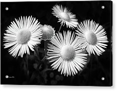 Acrylic Print featuring the photograph Daisy Flowers Black And White by Christina Rollo