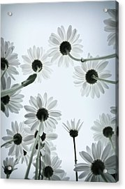 Daisy Flowers Rear View Acrylic Print by photograph by Anastasiya Fursova