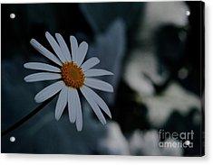 Daisy In Gloom Acrylic Print