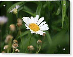 Daisy One Acrylic Print by Alan Rutherford