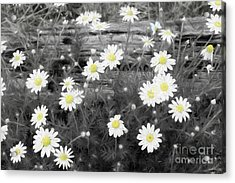 Acrylic Print featuring the photograph Daisy Patch by Benanne Stiens