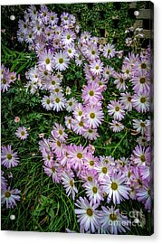 Daisy Patch Acrylic Print