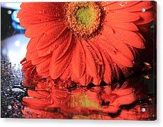 Daisy Reflections Acrylic Print
