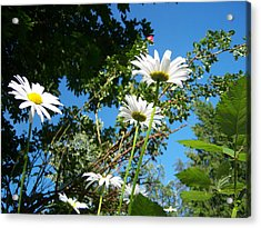 Daisy Rose Acrylic Print by Ken Day
