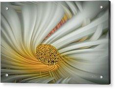 Daisy Swirl Acrylic Print