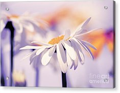 Daisyday 11b Acrylic Print by Variance Collections