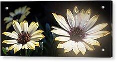 Daisydrops Acrylic Print