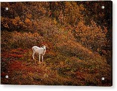 Dall Sheep Denali National Park Acrylic Print