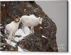 Dall Sheep On A Ledge Acrylic Print by Tim Grams