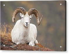 Dall Sheep Ram Acrylic Print by Tim Grams