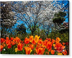 Dallas Arboretum Tulips And Cherries Acrylic Print by Inge Johnsson