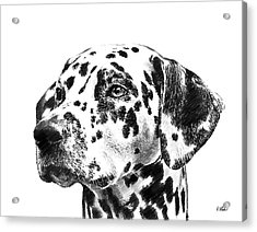 Dalmatians - Dwp765138 Acrylic Print