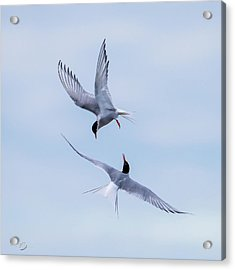Dancing Arctic Terns Acrylic Print