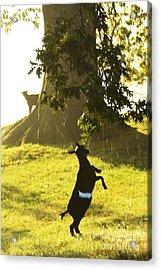 Dancing In The Rain Acrylic Print by Thomas R Fletcher