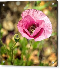 Acrylic Print featuring the photograph Dancing Pink Poppy by Marion McCristall