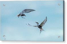 Dancing Terns Acrylic Print