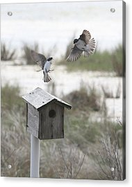 Dancing Tree Swallows Acrylic Print