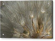 Dandelion 3 Acrylic Print