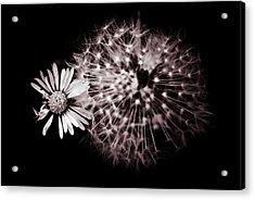Dandelion And Daisy Acrylic Print by Grebo Gray