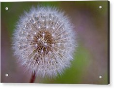 Acrylic Print featuring the photograph Dandelion by April Reppucci