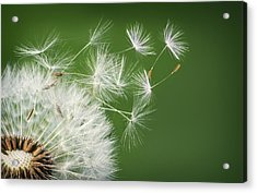 Acrylic Print featuring the photograph Dandelion Blowing by Bess Hamiti