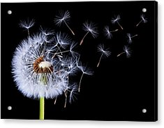 Dandelion Blowing On Black Background Acrylic Print