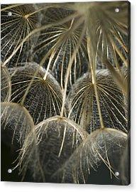 Dandelion Bouquet Acrylic Print by Iris Greenwell