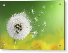 Acrylic Print featuring the photograph Dandelion Clock In Morning by Bess Hamiti