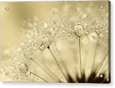 Dandelion Drops Acrylic Print by Sharon Johnstone