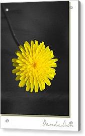 Dandelion Acrylic Print by Holly Kempe