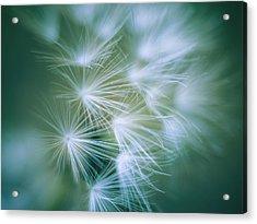 Dandelion II Acrylic Print