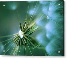 Dandelion IIi Acrylic Print