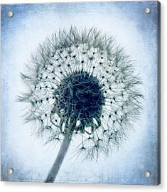 Dandelion In Blue Acrylic Print by Tamyra Ayles