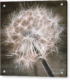 Dandelion In Brown Acrylic Print by Aimelle
