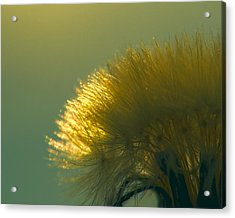 Dandelion In Green Acrylic Print