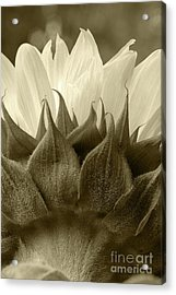 Acrylic Print featuring the photograph Dandelion In Sepia by Micah May