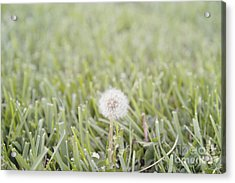 Acrylic Print featuring the photograph Dandelion In The Grass by Cindy Garber Iverson