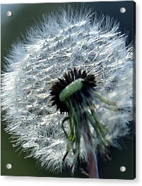 Dandelion Acrylic Print by Joanne Brown