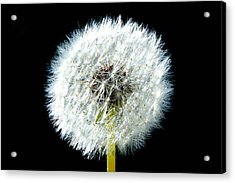 Dandelion Acrylic Print by Joyce Sherwin