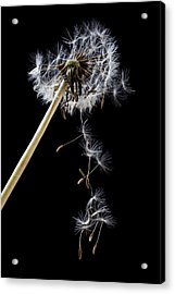 Dandelion Loosing Seeds Acrylic Print by Garry Gay