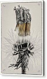 Dandelion Opening Up Acrylic Print