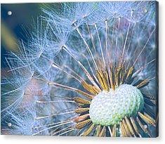 Dandelion Plumes Acrylic Print