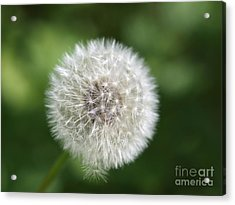 Dandelion - Poof Acrylic Print