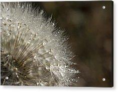 Dandelion Rain Acrylic Print by Shelly Gunderson
