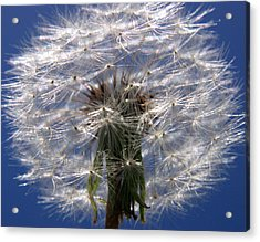 Dandelion Acrylic Print by PIXELS  XPOSED Ralph A Ledergerber Photography