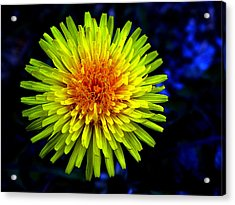 Dandelion Acrylic Print by Robert Knight