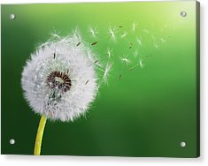 Acrylic Print featuring the photograph Dandelion Seed by Bess Hamiti