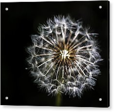 Acrylic Print featuring the photograph Dandelion Seed by Darcy Michaelchuk
